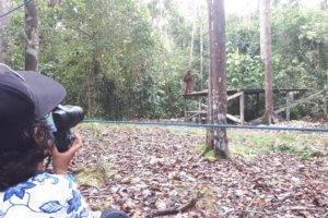 Orang-outans a Tanjung Puting Bornéo