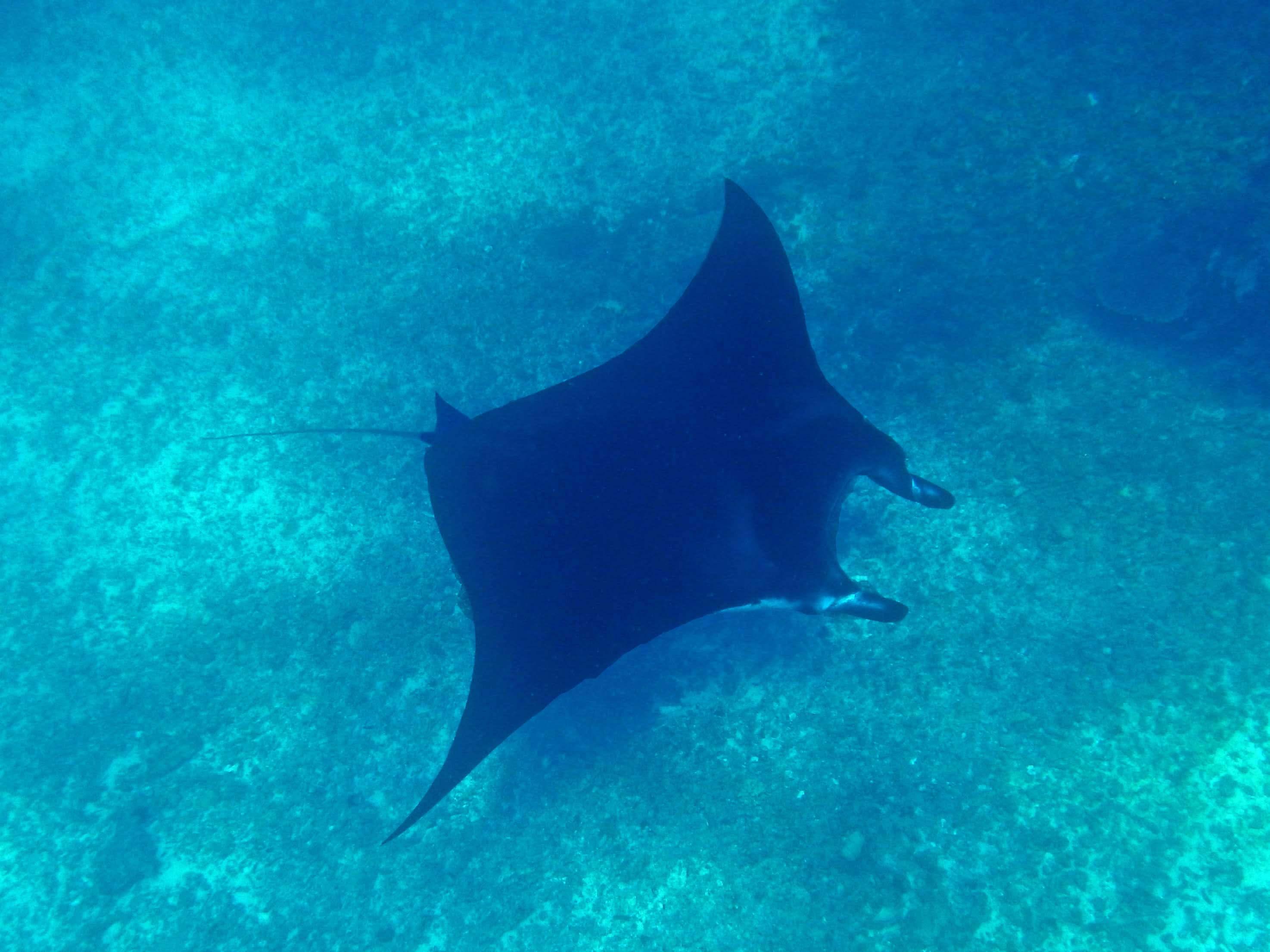 Fond marin du parc de Komodo à Flores (raie Manta)