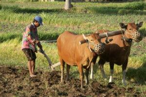 agriculture balinaise labourage de la terre
