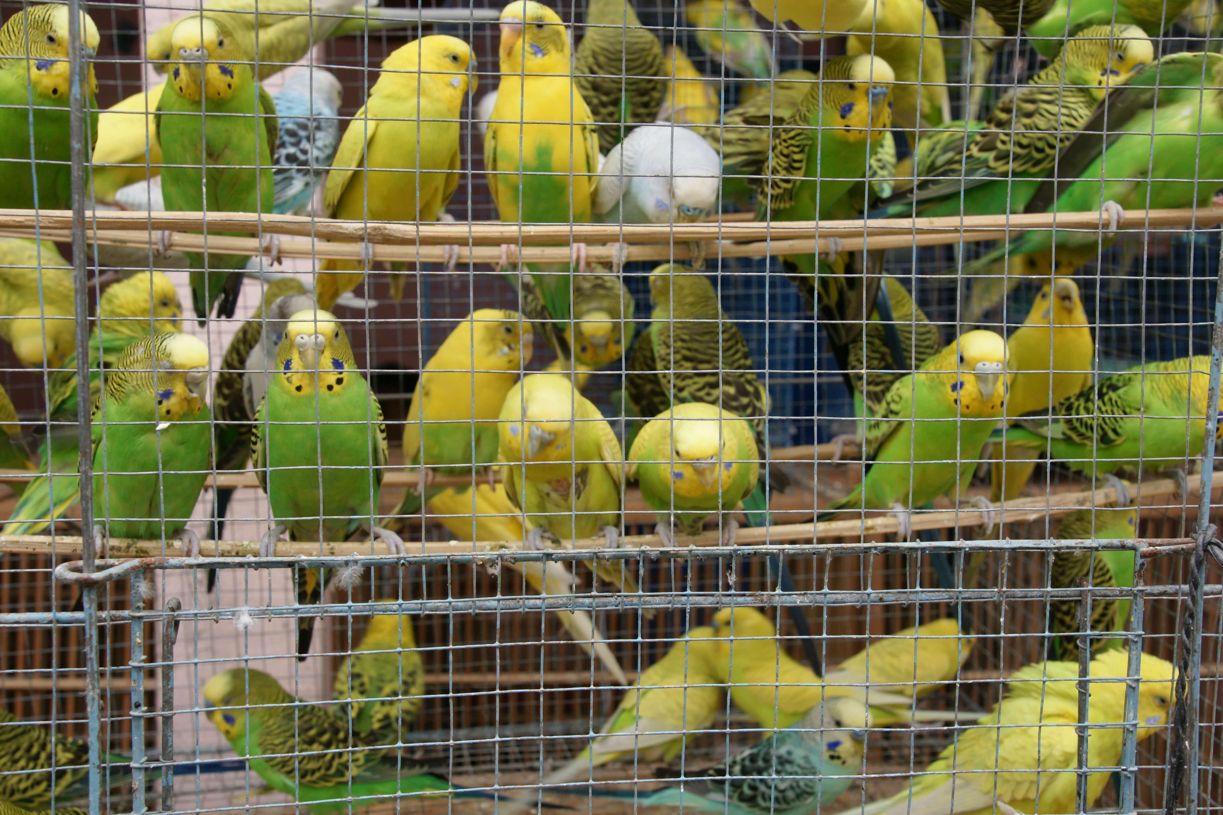 Bird Market Yogyakarta