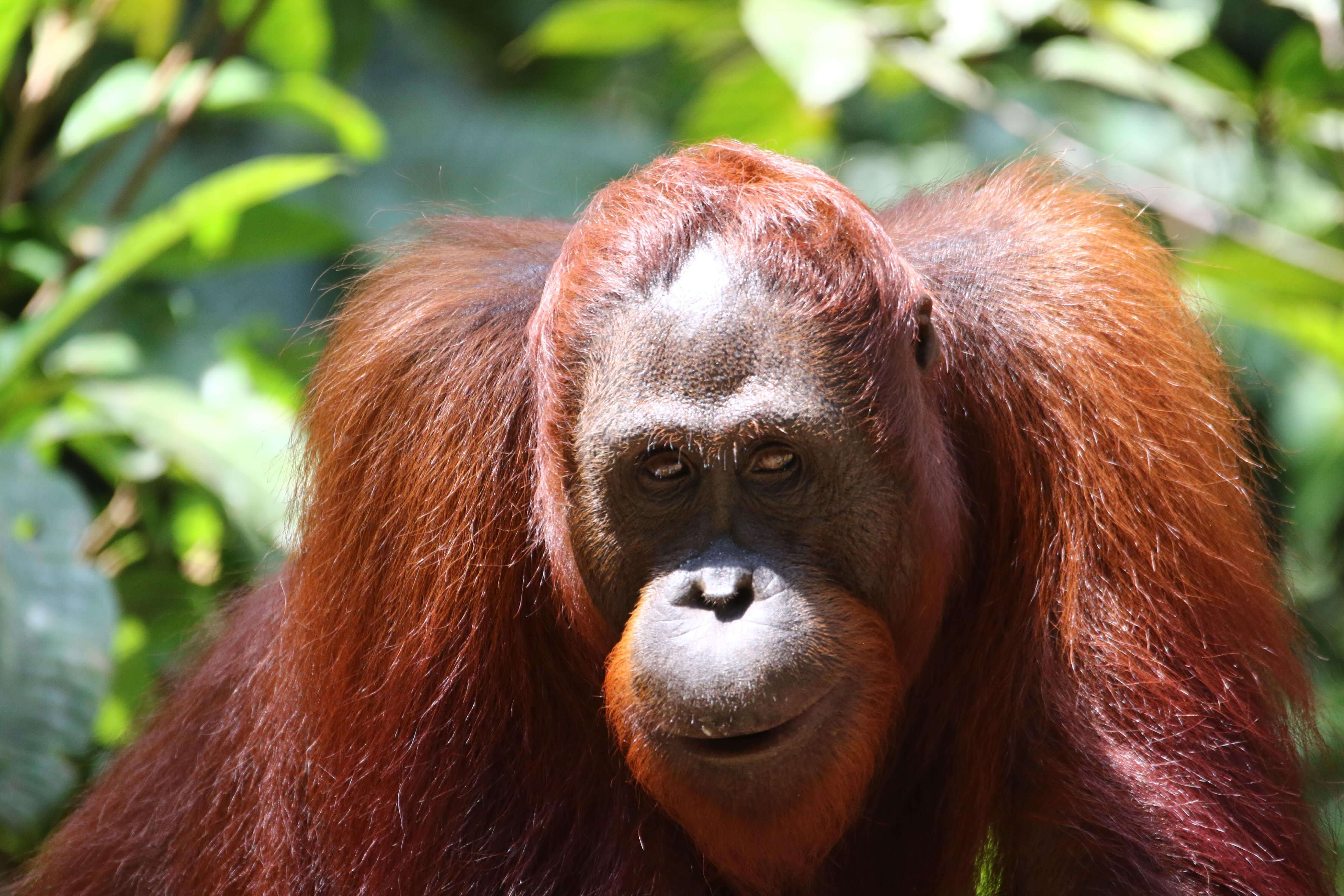Orang Outan à bukit lawang Sumatra