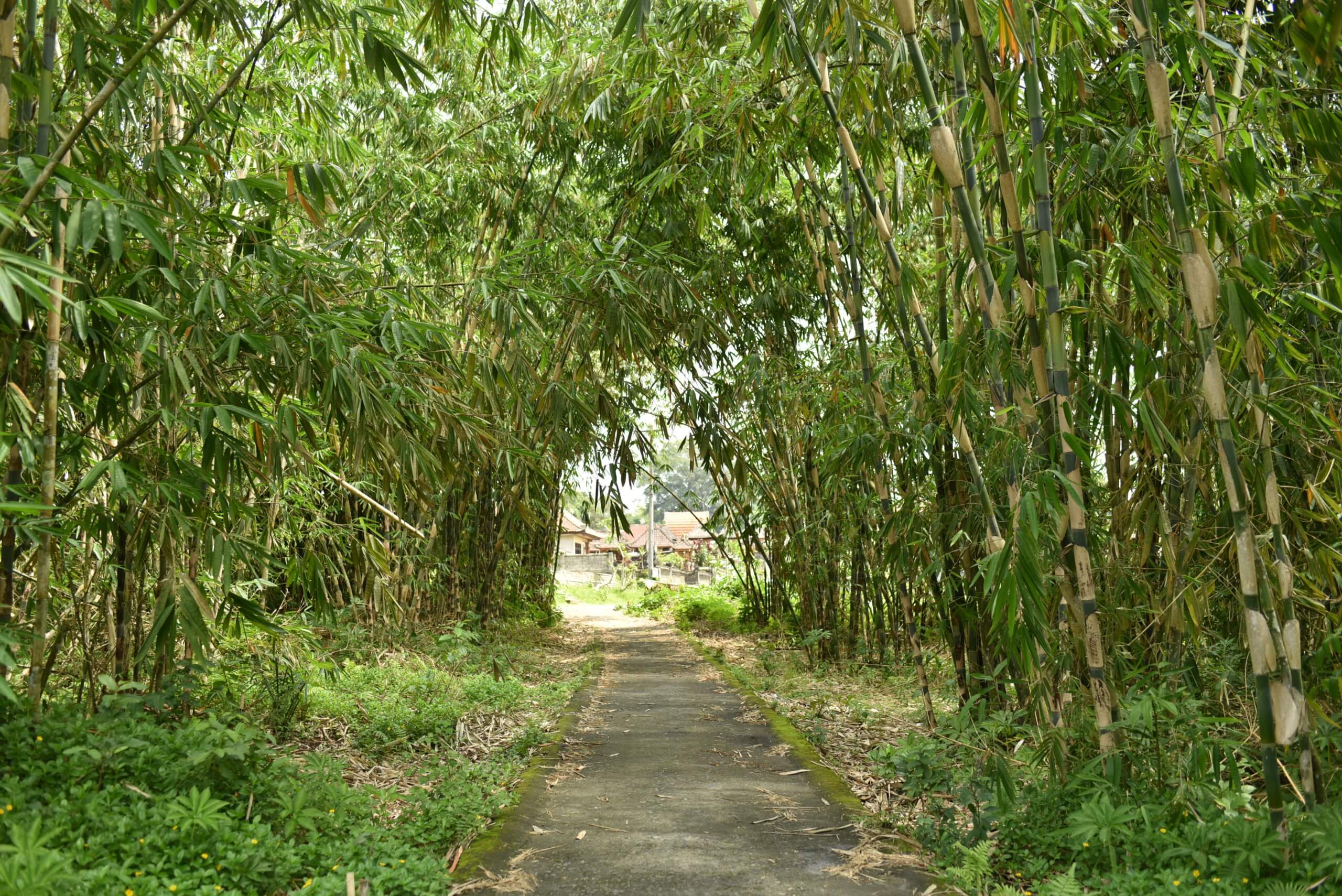 Sentier au milieu d'une forêt de bambou