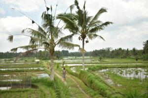 Ballade au milieu des rizières à Bali
