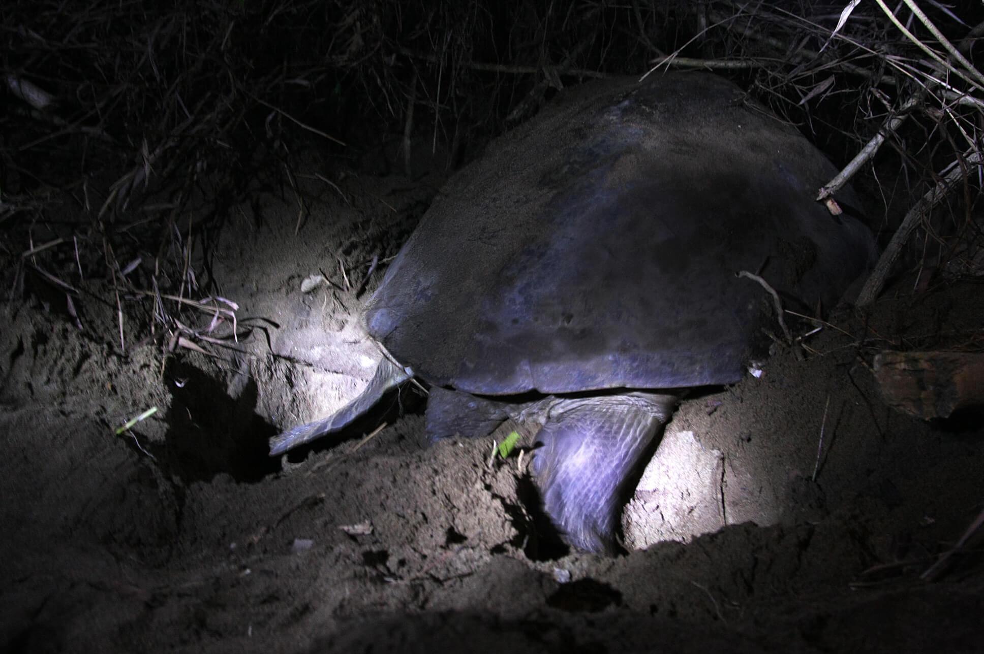 Ponte des tortues a sukamade