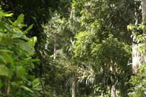 Jungle dense de sukamade