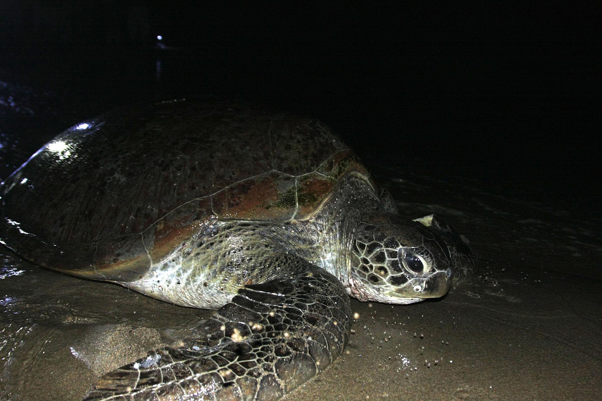 Les tortues de sukamade
