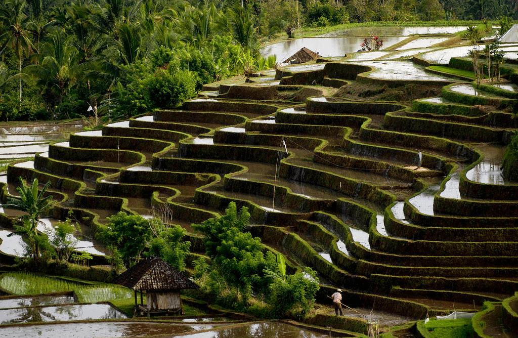 Les superbes rizières de Belimbing à Bali