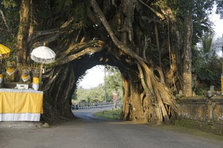 L'arbre sacré de Bunut Bolong à Bali