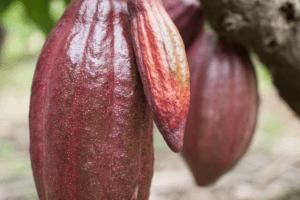Cabosse (cacao) à Bali