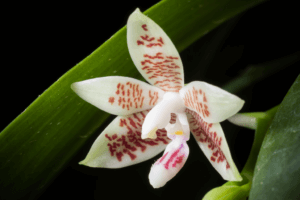 Orchidée d'Indonésie