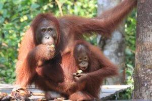 Singe orang outan Tanjung Puting national park