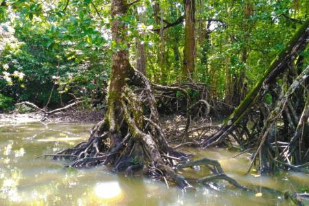 Palétuvier dans la mangrove