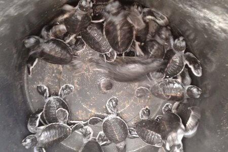 Les tortues de Sukamade à Java