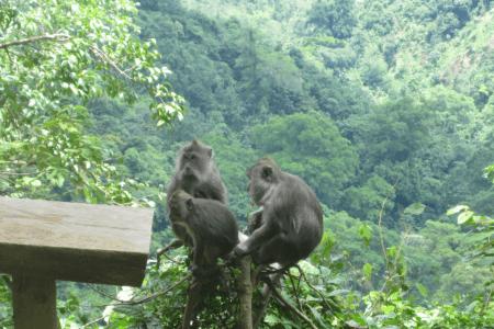 Singe dans la jungle de Pusuk à Lombok