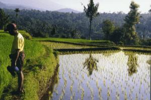 Rizieres de Tetebatu à Lombok