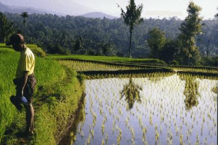 Rizières de Tetebatu à Lombok