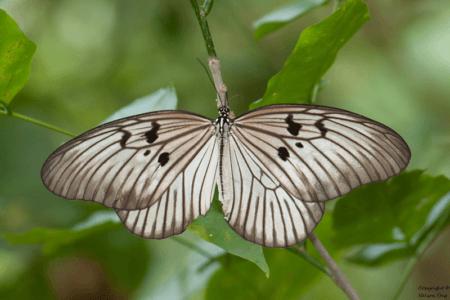 Papillon du Parc National Batimurung à Makassar sud Sulawesi