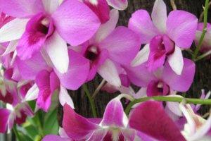 Orchidée du Jardin Botanique à Bedugul de Bali en Indonesie