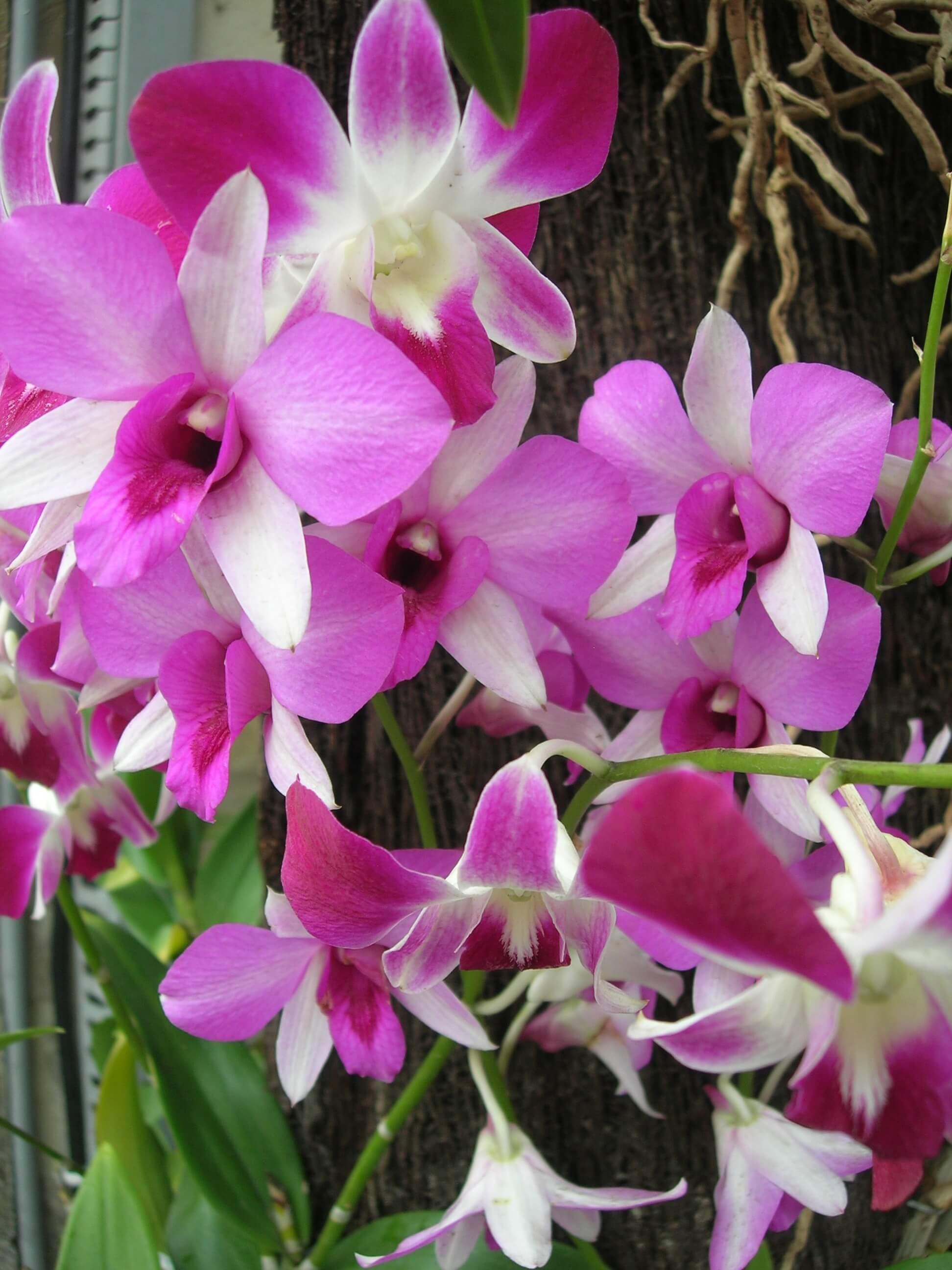 Orchidée du Jardin Botanique à Bedugul Bali en Indonésie