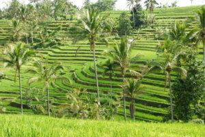 Les rizières de Bali