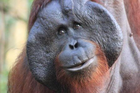 Orang utan Mount Leuser national parc Sumatra village de Bukit Lawang