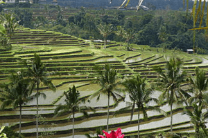 Rizières en terrasse de Bali