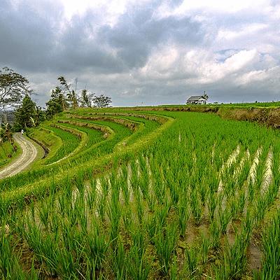 Rizière de Bali