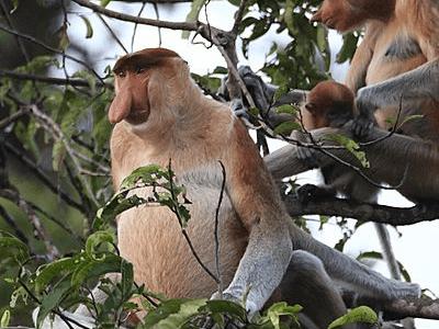 Singe Nasique du parc national de Tanjung Puting à Bornéo en Indonésie