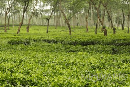 Plantation de thé de Wonosari à Malang East Java