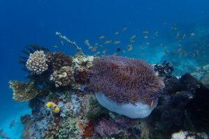 Anémone de mer et coraux du Park de Bunaken