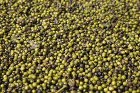 Plantation de poivre de Sihepeng au nord de Sumatra