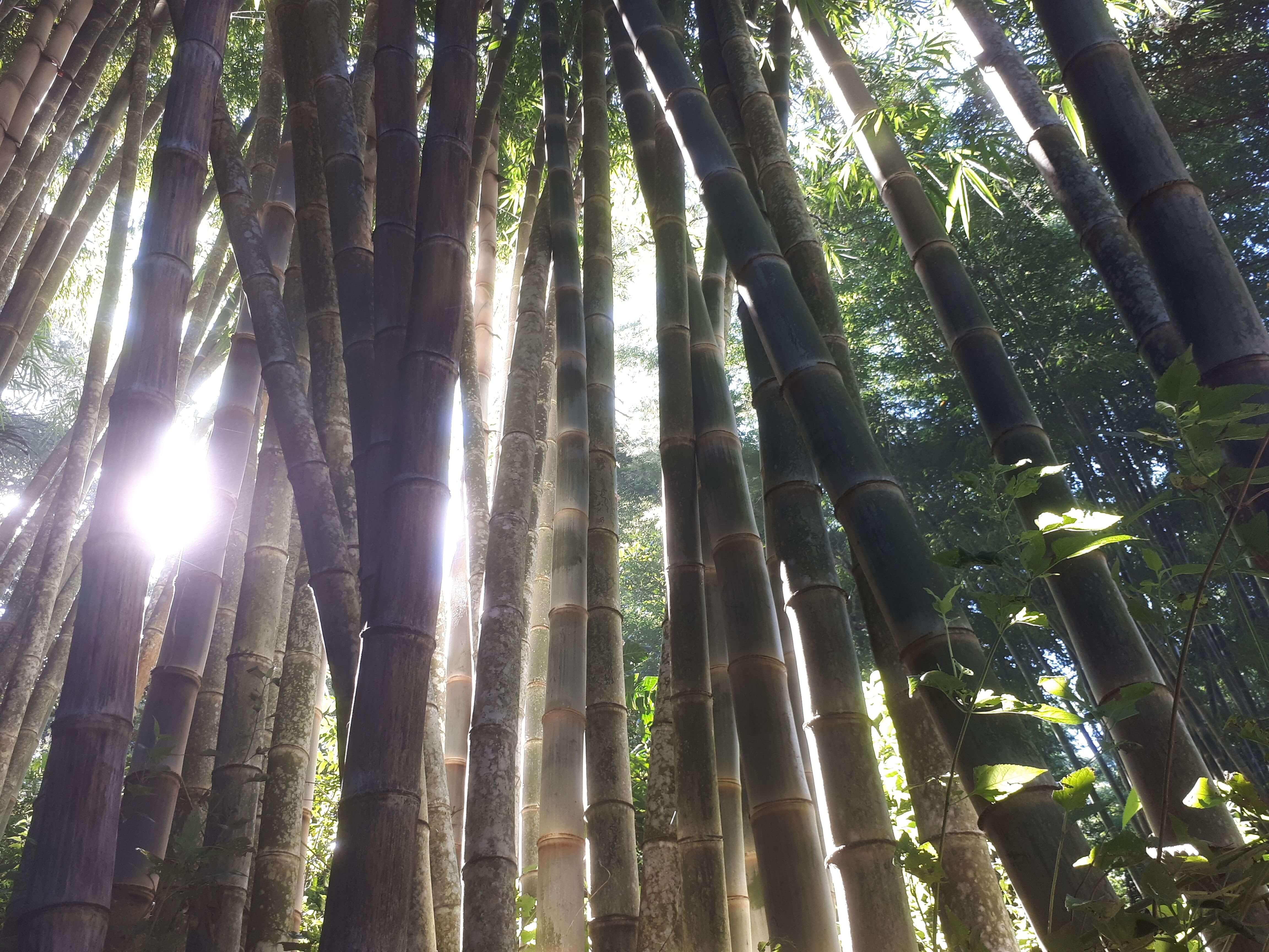 Foret de bambou à Bajawa Flores
