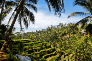 Superbes rizières en terrasses de Bali