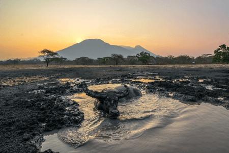 bain de boue d'un buffle dans le parc de Baluran