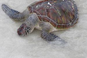 Centre de réhabilitation des tortues a Serangan