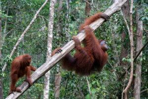 Orang Outan à Sumatra