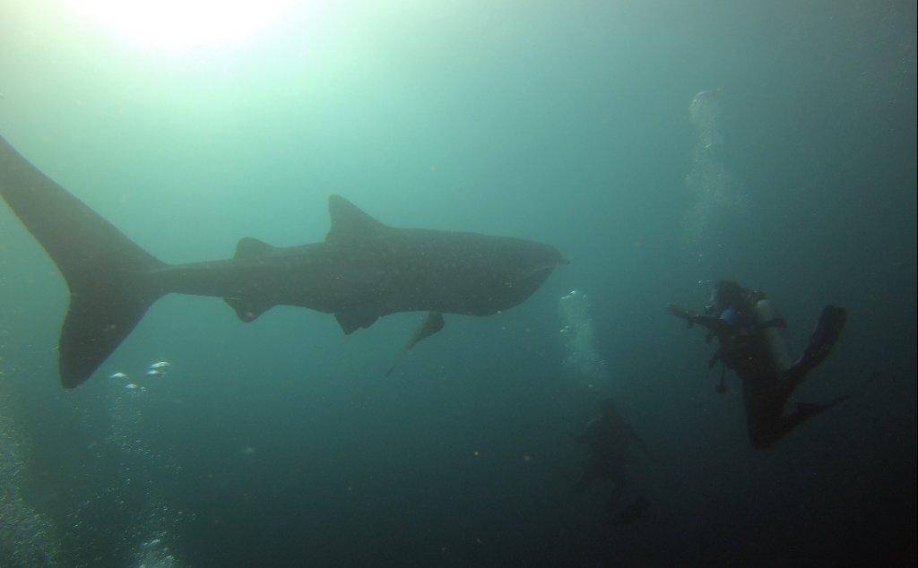 Requin Baleine, Indonésie