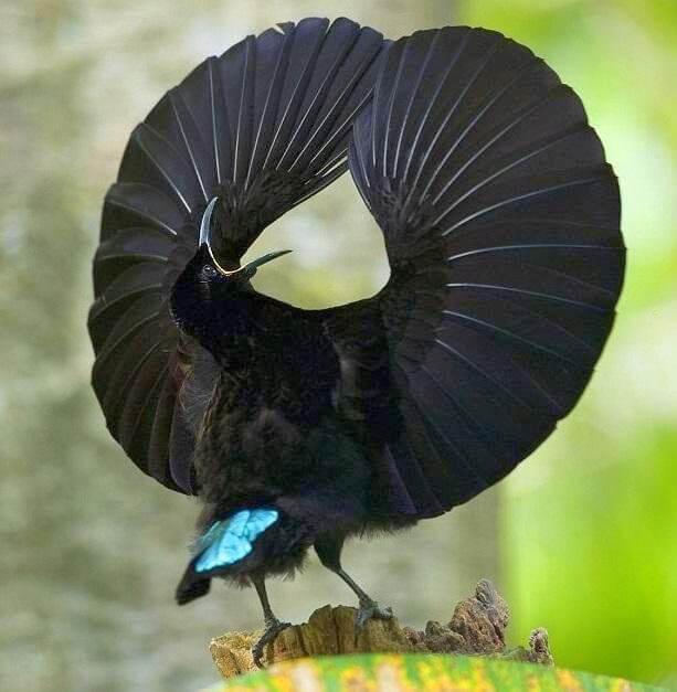 Démonstration de danse séductrice d'oiseau du paradis Indonésie