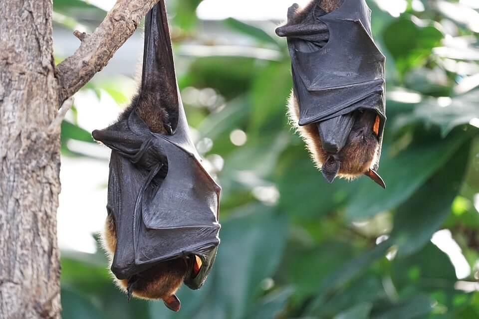 Chauves-souris en plein sommeil , Indonésie