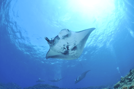 Raies Mantas, Manta Point, Nusa Penida