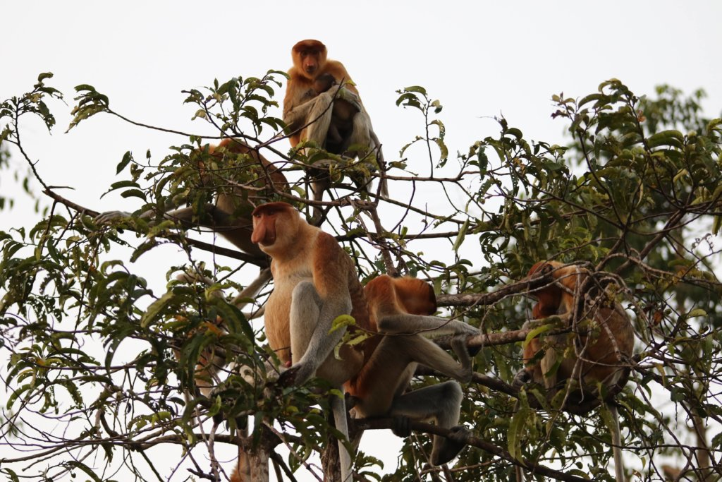 Les singes nasiques de Borneo