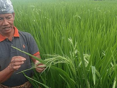 Paysan contrôlant l'évolution de la culture du riz à Bali