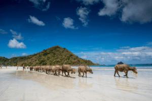 Buffles sur la plage de Seger à Lombok