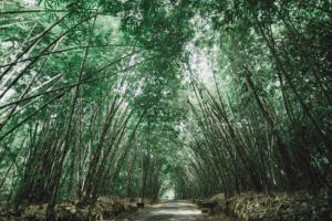 Sentier au milieu d'une foret de bambou