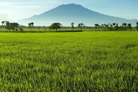 Les rizieres de Bogor avec le volcan en arriere plan à Java
