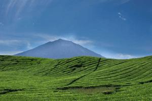 Champs de thé , avec en arrière plan le Volcan Kerinci à Sumatra volcan kerinci