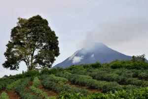 Paysage de champs de the et en arriere plan , le volcan Sinabung a Sumatra