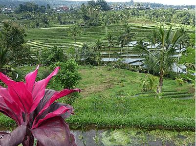 Plaine de rizières a Bali